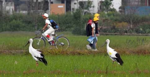 Oriental white stork in a rice paddy with school children walking by