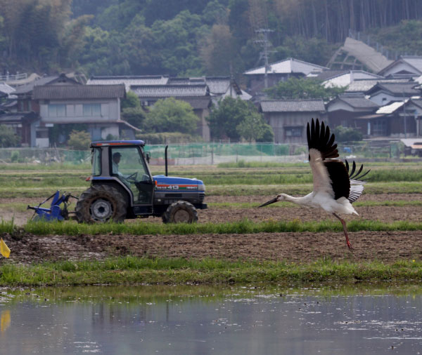 A Konotori stork taking off over a flooded rice paddy