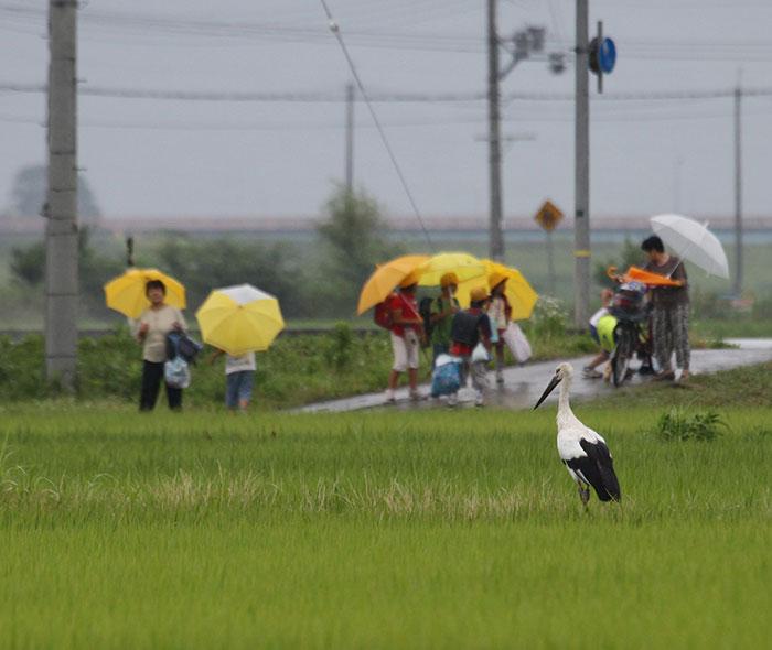 A Konotori stork in a rice paddie as some school children walk past