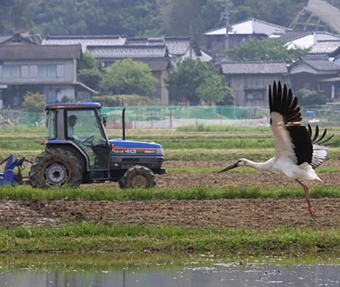 A Konotori stork about to take flight