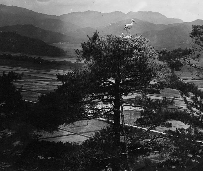 Old black and white photo Konotori stork nesting on top of a tree