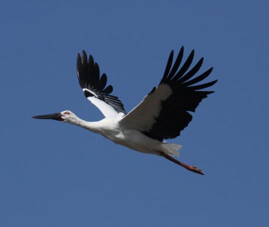 Konotori stork in flight