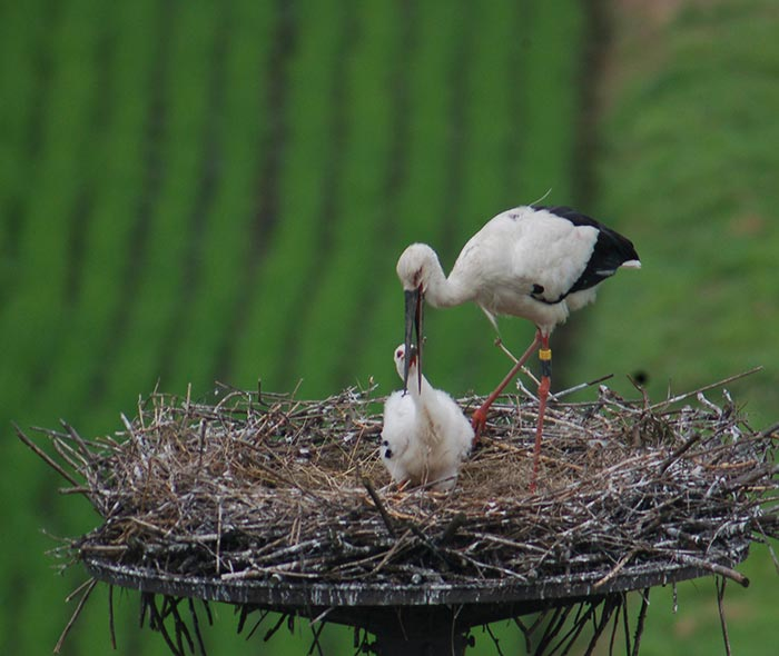 Konotori stork caring for its chick in a nest